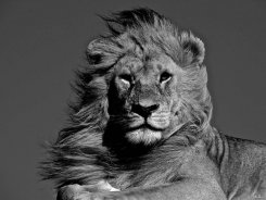 Magnificent Lion by C H James