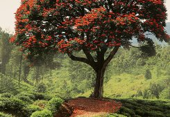Red Tree And Hills In Sri Lanka