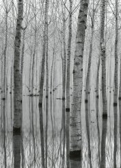 Birch Forest In The Water