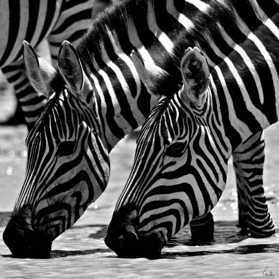 Zebras by C H James