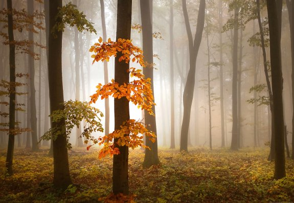 Foggy Autumn Forrest